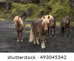 Hardy Icelandic Palomino And...