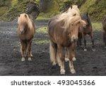 Hardy Icelandic Palomino Horse...