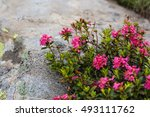 The Alpine Rose   Rhododendron...