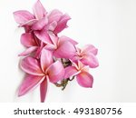group of pink frangipani... | Shutterstock . vector #493180756