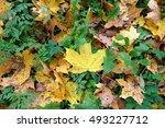 carpet of autumn maple leaves... | Shutterstock . vector #493227712