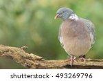 Wood pigeon - Houtduif