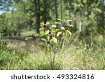 Small photo of American Beautyberry Shrub with Purple berries in the summer