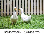Single White Duck In Water