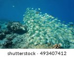 Small photo of Shoal of tropical fish convict tang, Acanthurus triostegus, underwater Pacific ocean, atoll of Rangiroa, Tuamotu, French Polynesia