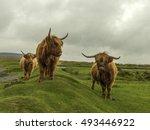 Shaggy Highland Cattle  ...