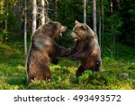 bear fight in summer forest