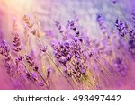 Beautiful Lavender Flowers In...
