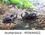 Dynastinae Rhinoceros Beetle O...