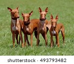 Small photo of Four nice dogs - Pharaoh Hound