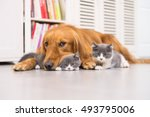 Stock photo dogs and cats taken indoors 493795006