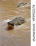 Small photo of Name: American crocodile Scientific name: Crocodylus acutus Country: Costa Rica Location: Tarcoles