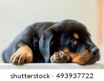 Rottweiler Puppy Resting On Th...