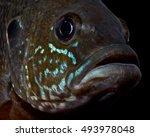 Invasive Male Green Sun Fish (Lepomis cyanellus) on Black Background