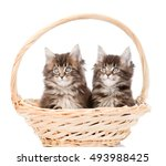 Two Small Maine Coon Cats...