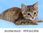 Tricolor Kitten Tortoiseshell ...