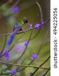 Small photo of Long tailed hummingbird, Violet-tailed Sylph, Aglaiocercus coelestis, showing off its best colors reflecting on tail, agains blurred violet lavender flowers in background. Montezuma, Colombia.