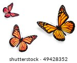 Stock photo three monarch butterflies isolated on white flying towards center of frame 49428352