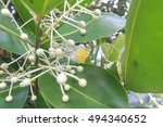 Small photo of Calophyllum inophyllum flower ,Theales,Clusiaceae,Calophyllum,C. inophyl