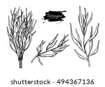 tarragon vector hand drawn... | Shutterstock .eps vector #494367136