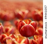 tulips in the garden - stock photo