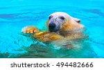 The Polar Bear Looks Into The...