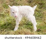 little newborn lamb standing on ... | Shutterstock . vector #494608462