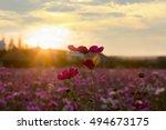 cosmos flowers in sunset | Shutterstock . vector #494673175