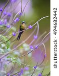 Small photo of Long tailed hummingbird, Violet-tailed Sylph, Aglaiocercus coelestis, perched on stem of nectar rich flower, Purple Porterweed. Vertical photo, vivid purple and violet colors. Montezuma area,Colombia.