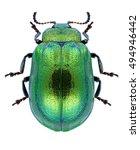 beetle plagiosterna aenea on a... | Shutterstock . vector #494946442