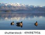 Wild Duck On Lake Wanaka  Sout...