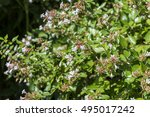 Small photo of Flowers of Glossy abelia, Abelia x grandiflora. It is a hybrid, raised by hybridising Abelia chinensis with Abelia uniflora