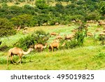 camels in the highlands of... | Shutterstock . vector #495019825