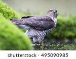 eurasian sparrowhawk  accipiter ...   Shutterstock . vector #495090985