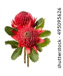australian native red waratah... | Shutterstock . vector #495095626