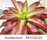 close up of bromeliad plants...   Shutterstock . vector #495152122