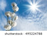 Blooming Cotton Grass Against ...