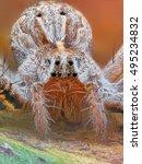 Small photo of Extreme macro of Polish wolf spider. Pardosa Spp