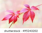 autumn branch red leaves of... | Shutterstock . vector #495243202