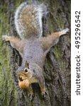 Adorable  Fluffy Grey Squirrel...