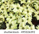 Beautiful White Poinsettia  ...