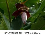 Banana Flowers Blooming Musa  ...