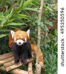 Small photo of Red Panda or lesser panda (Ailurus fulgens)