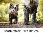 Muddy Little Dog Stands Next T...