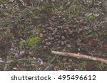 Deer Droppings On Forest Litter