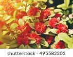 Red Santan Flower. Morning Time