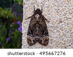 Small photo of Death's-head hawk moth (Acherontia lachesis) on the wall