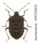 Brown Marmorated Stink Bug...