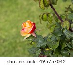 Rose  With Black Spot ...
