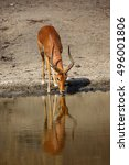 Small photo of The impala (Aepyceros melampus) male drinking from waterhole